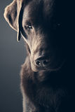 Chocolat triste Labrador Photographie stock