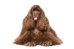 Chocolate American cocker spaniel. Lying on white background Stock Images