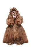Chocolate American cocker spaniel Stock Photo