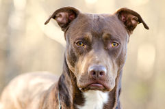 Chocolate American Pitbull Terrier dog, Walton County Animal Shelter. Chocolate brown male Pit Bull Terrier dog, humane society adoption photo, outdoor pet royalty free stock image