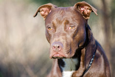 Chocolate American Pitbull Terrier dog, Walton County Animal Shelter. Chocolate brown male Pit Bull Terrier dog, humane society adoption photo, outdoor pet royalty free stock photos