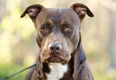 Chocolate American Pitbull Terrier dog, Walton County Animal Shelter. Chocolate brown male Pit Bull Terrier dog, humane society adoption photo, outdoor pet stock photography
