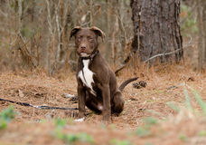 Chocolate American Pitbull Terrier Puppy Dog. Outdoor pet photography, humane society animal shelter adoption photo, Walton County Animal Control royalty free stock images