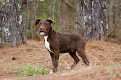 Chocolate American Pitbull Terrier Puppy Dog Royalty Free Stock Images