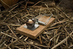 Chocolate Baited Mousetrap. A primed mousetrap baited with a fancy chocolate Stock Photography