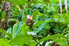 Chocolate ball ginger plant Royalty Free Stock Photography