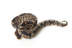 Chocolate ball python Royalty Free Stock Photography