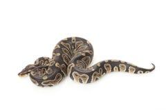 Chocolate ball python Royalty Free Stock Photos