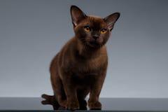 Chocolate Birmania Cat Sits y mirada in camera en gris foto de archivo libre de regalías