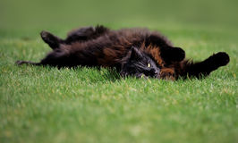 Chocolate Black Cat Rolling on Grass Stock Photo