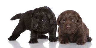 Chocolate and black labrador retriever puppies. 3 weeks old labrador retriever puppies on white stock image