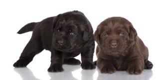 Chocolate and black labrador retriever puppies Stock Image