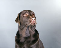 Chocolate bonito Labrador Fotografia de Stock Royalty Free