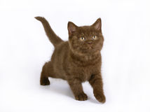 Chocolate British kitten Royalty Free Stock Image
