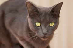 Chocolate brown cat. Portrait of chocolate brown cat sitting looking royalty free stock image
