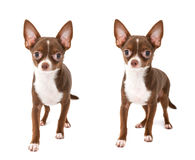 Chocolate brown chihuahua dog making step forward Royalty Free Stock Images