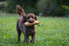 Chocolate brown Labradoodle dog retieving training dummy royalty free stock photography