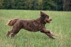 Chocolate Brown Labradoodle in a Field royalty free stock photo