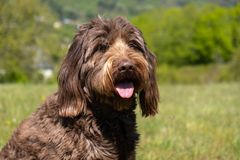 Chocolate Brown Labradoodle Sitting in a Field royalty free stock photos