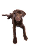 Chocolate brown labrador looking up Royalty Free Stock Photos