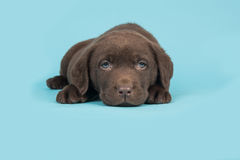 Chocolate brown labrador retriever puppy lying on a blue background Stock Image