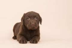 Chocolate brown labrador retriever puppy lying on the floor on a beige background Stock Photography