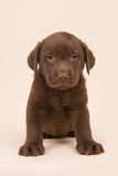 Chocolate brown labrador retriever puppy sitting on a beige background. Looking at the camera Stock Image