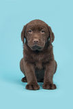 Chocolate brown labrador retriever puppy sitting on a blue background Stock Photo