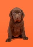 Chocolate brown labrador retriever puppy sitting on a orange background Royalty Free Stock Image