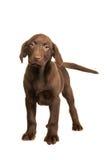 Chocolate brown labrador retriever puppy walking towards you Royalty Free Stock Photos