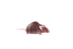 Chocolate brown mouse Stock Photo