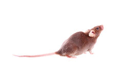 Chocolate brown mouse Stock Images