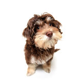 Chocolate brown puppy on isolated background Stock Images