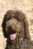 Chocolate Brown Standard Poodle Royalty Free Stock Photo