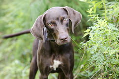 Chocolate Brown Weimaraner Pointer mixed breed dog. Young female Chocolate Brown Weimaraner Pointer mixed breed puppy dog. Animal shelter adoption photography Royalty Free Stock Photos
