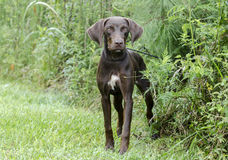 Chocolate Brown Weimaraner Pointer mixed breed dog Royalty Free Stock Photo