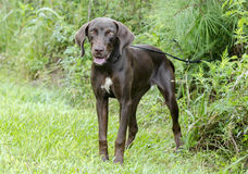 Chocolate Brown Weimaraner Pointer mixed breed dog Stock Photo