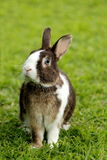 Bunny rabbit with blue eyes Royalty Free Stock Photo