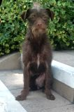 Chocolate Brown Wire Haired Terrier female Mix breed pup on steps royalty free stock photo