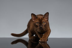 Chocolate Burma Cat crouching on Gray Royalty Free Stock Image