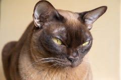 Chocolate Burmese Cat stock images