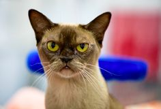 Chocolate Burmese Cat with  gold eyes portrait close-up. On colorful background stock images