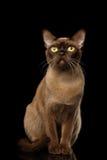 Chocolate Burmese Cat on isolated black background Stock Image