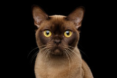Chocolate Burmese Cat on isolated black background Stock Images
