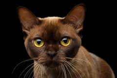 Chocolate Burmese Cat on isolated black background Stock Photo