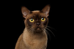 Chocolate Burmese Cat on isolated black background Royalty Free Stock Images