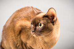Chocolate Burmese Cat Isolated royalty free stock images