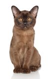Chocolate Burmese kitten Stock Images