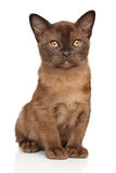 Chocolate Burmese kitten on white Stock Photos