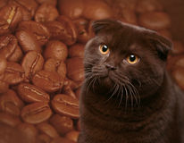 Chocolate cat. Against coffee grains. Dogs and cats in the most different situations and positions Royalty Free Stock Image